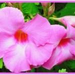 New-Mornings-Flower-300x201